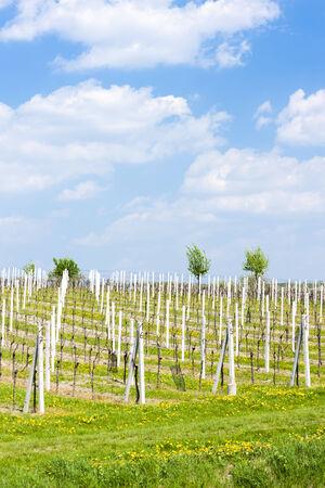 czech republic: vineyard called Sonberk, Czech Republic