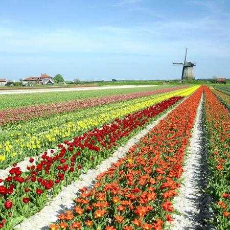 windmill with tulip field near Schermerhorn, Netherlands photo