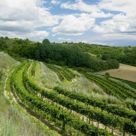 vineyards, Eko Hnizdo, Czech Republic Stock Photo