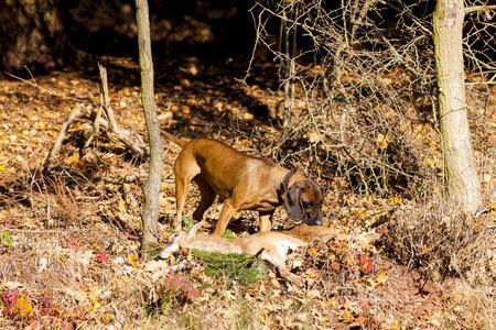 atrapar: perro de caza con una captura en el bosque Foto de archivo