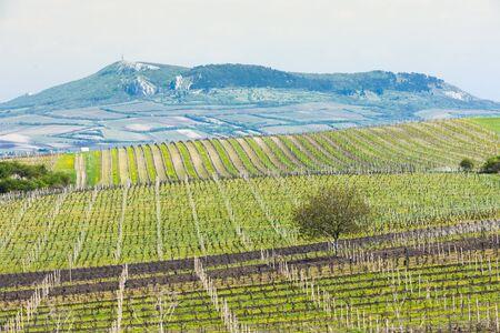 czech republic: spring vineyard, Palava, Czech Republic