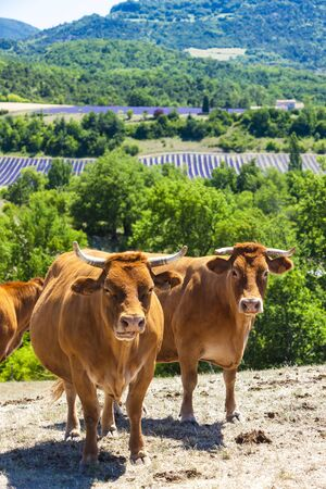 stock breeding: herd of cows, Rhone-Alpes, France