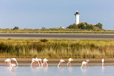 regional: flamingos and Gacholle lighthouse, Parc Regional de Camargue, Provence, France