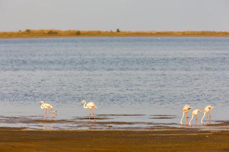 alpes: Flamingos in Camargue, Provence, France Stock Photo