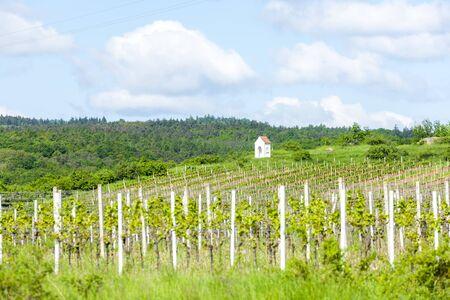 moravia: spring vineyard near Hnanice, Southern Moravia, Czech Republic Stock Photo