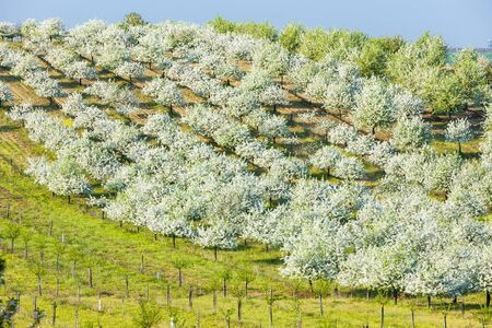 blooming orchard in spring, Czech Republic photo