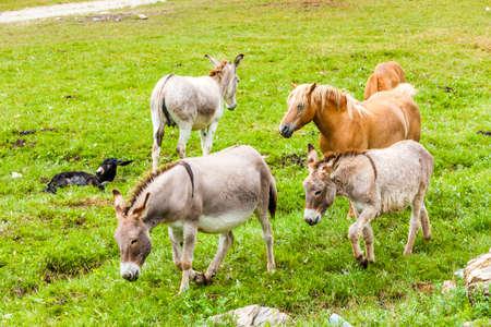 donkeys: donkeys and horses, Piedmont, Italy