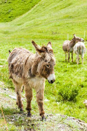 donkeys: donkeys on meadow, Piedmont, Italy