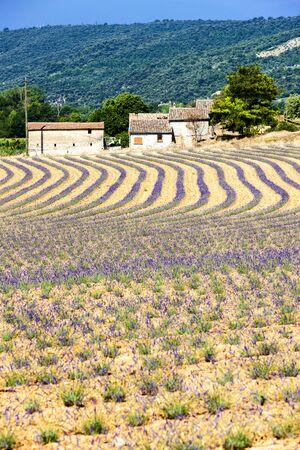 d'azur: lavender field, Provence, France