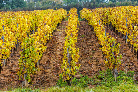 autumnal vineyards, Burgundy, France Stock Photo