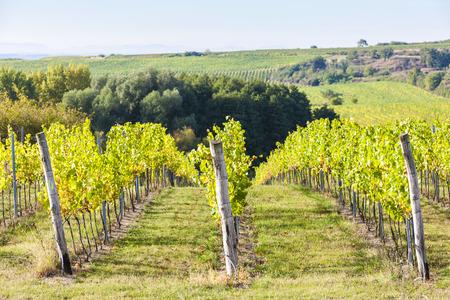 vineyard near Hnanice, Southern Moravia, Czech Republic
