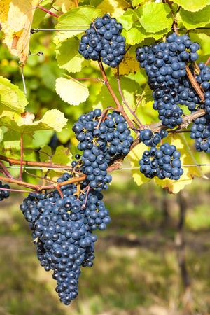 moravia: blue grapes in vineyard, Southern Moravia, Czech Republic Stock Photo