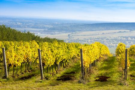 viñedo: vista de los viñedos del otoño cerca de Pálava, República Checa Foto de archivo