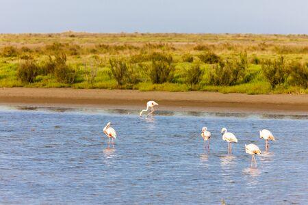 camargue: flamingos in Camargue, Provence, France
