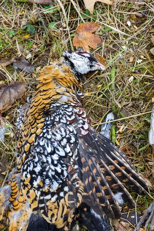 outside shooting: excludes of caught pheasant Stock Photo