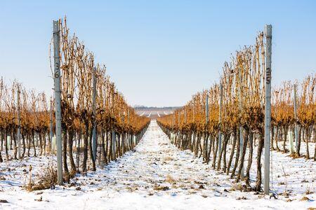 vi�edo: vi�edo invierno, Moravia del Sur, Rep�blica Checa