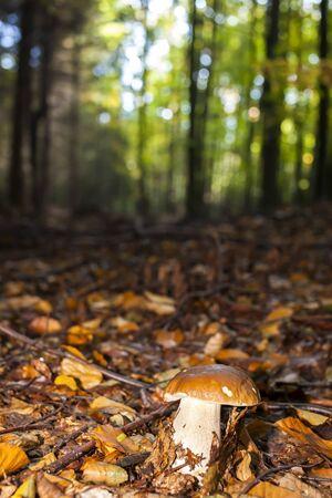 edible: edible mushroom in forest