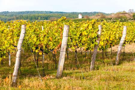 autumnal vineyard near Hnanice, Southern Moravia, Czech Republic