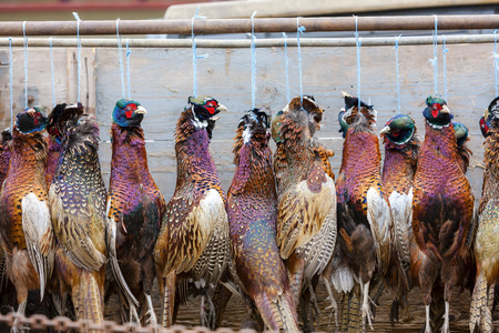 excludes: excludes of caught pheasants