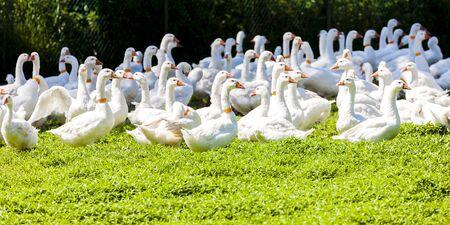 czech republic: goose farm, Czech Republic Stock Photo