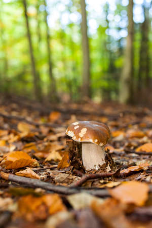 edible mushroom: edible mushroom in forest