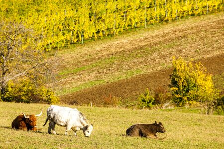 stock breeding: herd of cows in autumn, Lower Austria, Austria