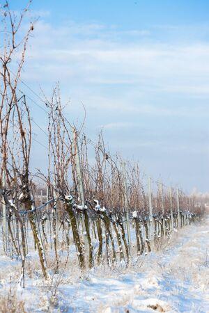 moravia: winter vineyard, Southern Moravia, Czech Republic