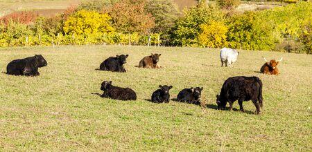 stock breeding: herd of cows in autumn