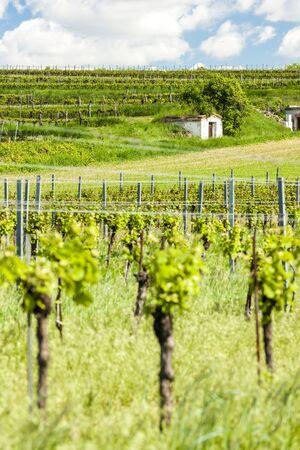 viniculture: wine cellars with vineyard in Retz region, Lower Austria, Austria