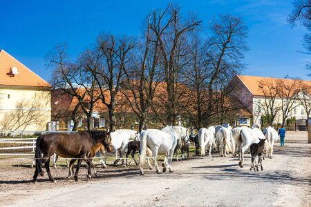 stud: stud farm, Kladruby Kralove nad Labem, Czech Republic
