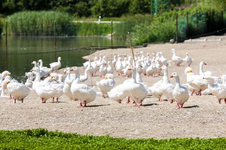 goose: goose farm, Czech Republic Stock Photo
