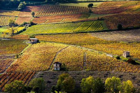 viñedo: viñedos cerca de Beaujeu, Beaujolais, Rhone-Alpes, Francia