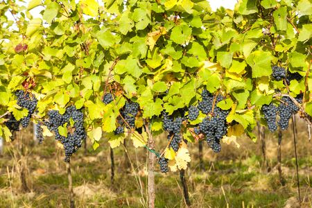 blue grapes in vineyard, Southern Moravia, Czech Republic Stock Photo