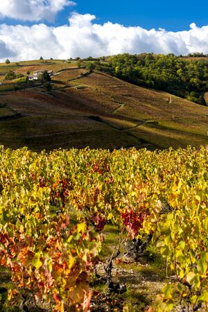 grand cru vineyards near Fleurie in Beaujolais, Rhone-Alpes, France