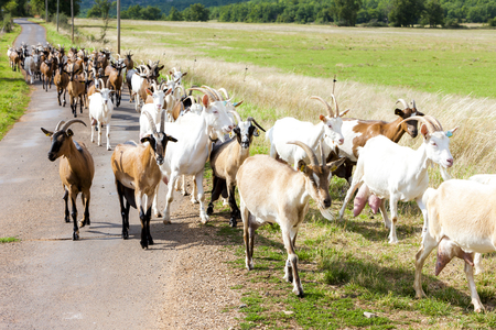 stock breeding: herd of goats on the road, Aveyron, Midi Pyrenees, France