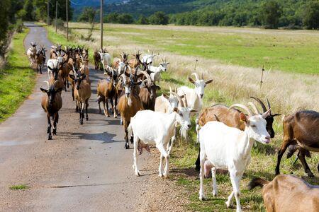 midi: herd of goats on the road, Aveyron, Midi Pyrenees, France