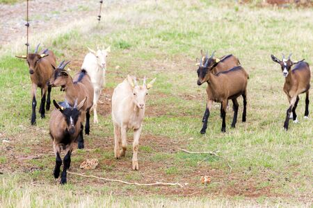 midi: herd of goats, Aveyron, Midi Pyrenees, France