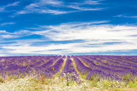 lavender field: lavender field, Provence, France
