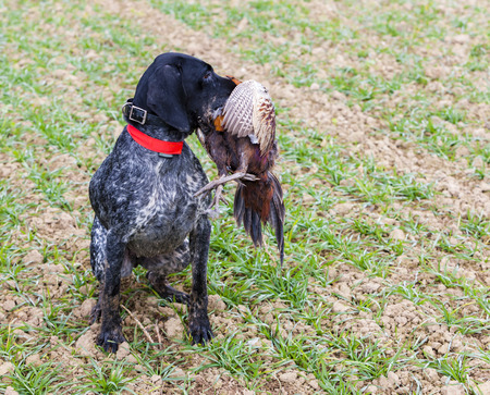 hunting dog: hunting dog with a catch Stock Photo