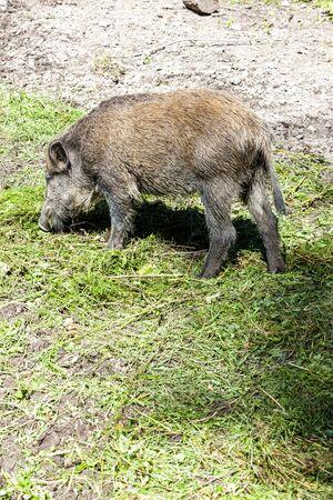 wild boar: wild boar, Bialowieski national park, Podlaskie Voivodeship, Poland Stock Photo