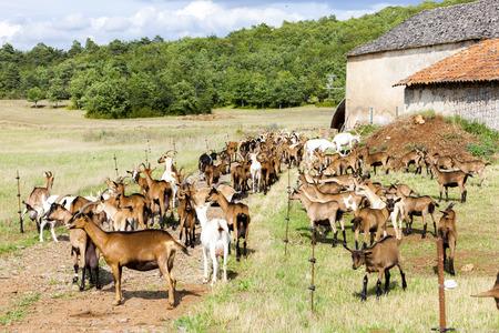 midi: herd of goats on pasturage, Aveyron, Midi Pyrenees, France Stock Photo