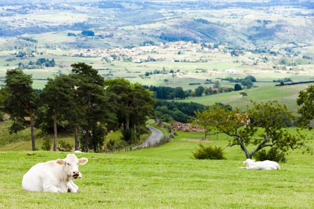 stock breeding: cows on meadow, Rhone-Alpes, France Stock Photo