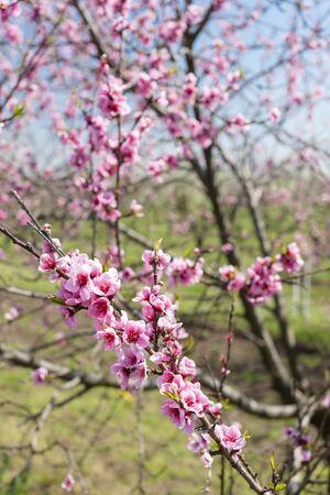 peach tree: detail of blossom peach tree Stock Photo