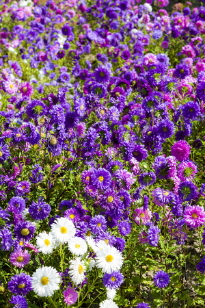 flowerbed of asters