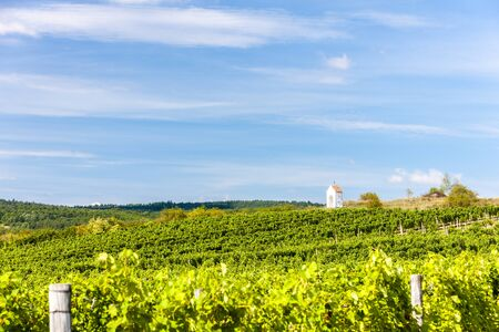 moravia: vineyard near Hnanice, Southern Moravia, Czech Republic