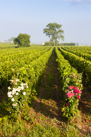 vineyards near Saint-Emilion, Bordeaux, Francie Stock Photo