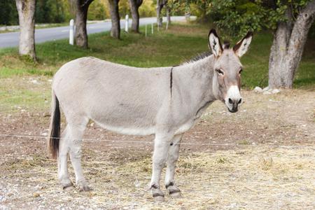 donkey, Alpes de Haute Provence Departement, France Standard-Bild