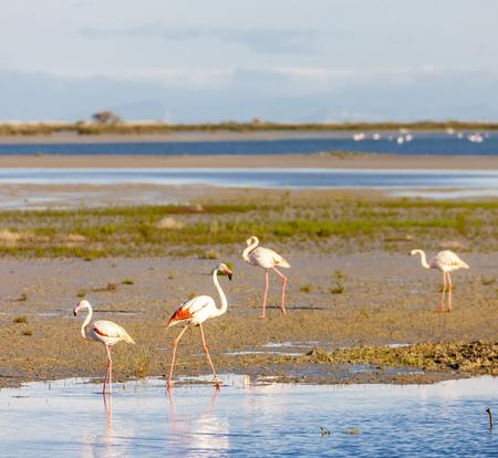 flamencos, Camargue, Provenza, Francia