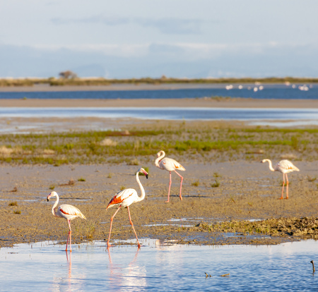 flamingos, Camargue, Provence, France