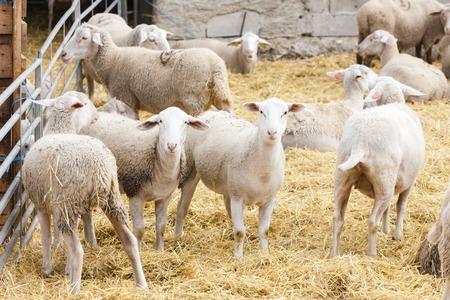 Schafe auf der Farm Standard-Bild